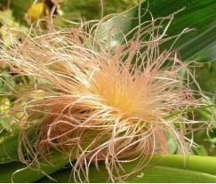 Волокна кукурузы с массой достоинств