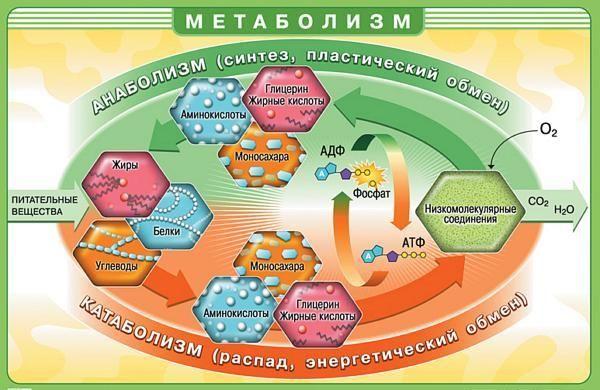 значение метаболизма