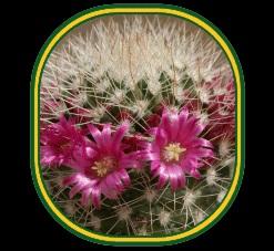 соцветие кактуса